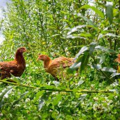 Kippen vrije uitloop, tussen het groen