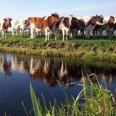Cows next to a stream