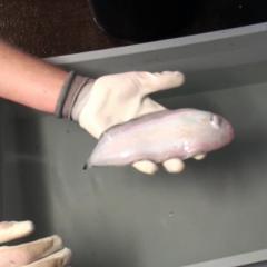 Reflex tests on fish