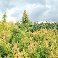 Het gewas quinoa met grote groene bloempluimen