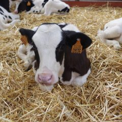 Five Holstein calves on a bed of straw
