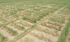 Kleine plotjes gras. De gevolgen van die droogte op de verschillende grasrassen zijn duidelijk zichtbaar.