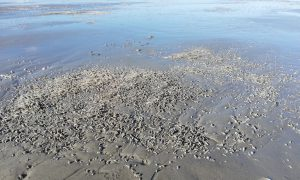 Beach at ebb tide, with mason worms visible