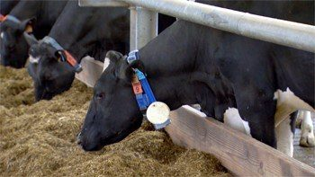 Cow with collar for monitoring