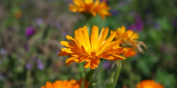 Orange wildflower
