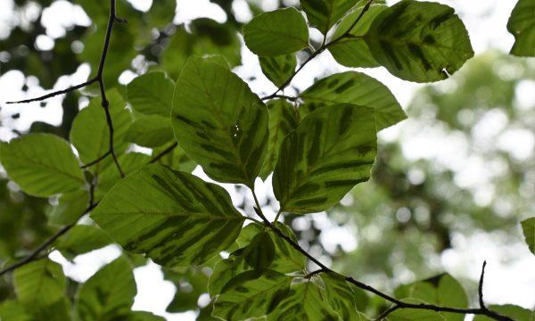 beach leaf disease op Europese beuk