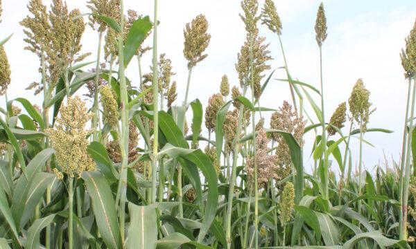 Sorghum met lange maïs-achtige bladeren en met compacte een pluim met duizenden aartjes.