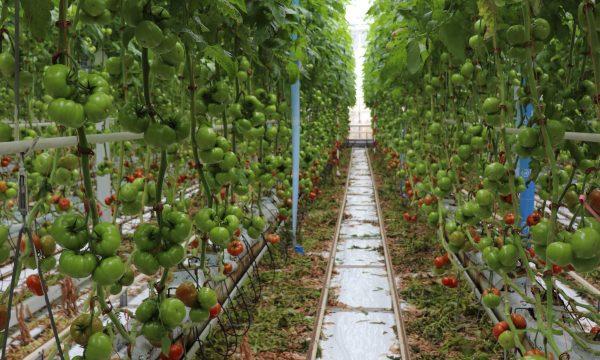 pvh tomaat