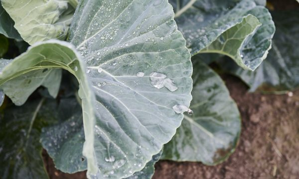symptoms of drought on cabbage