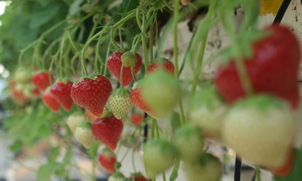 PCH strawberries