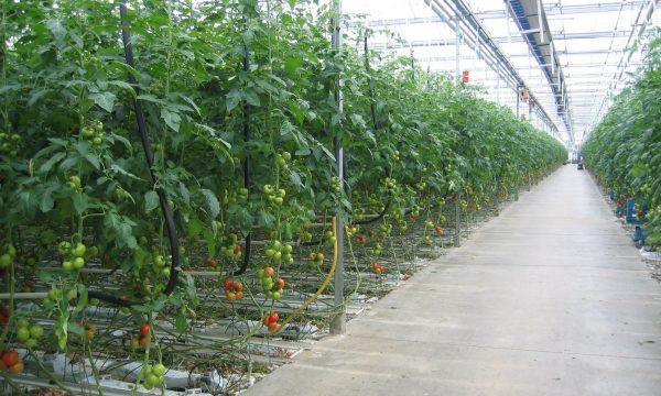 Teelt van tomaten in een serre