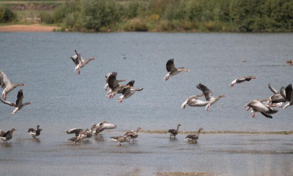 Grauwe ganzen die wegvliegen