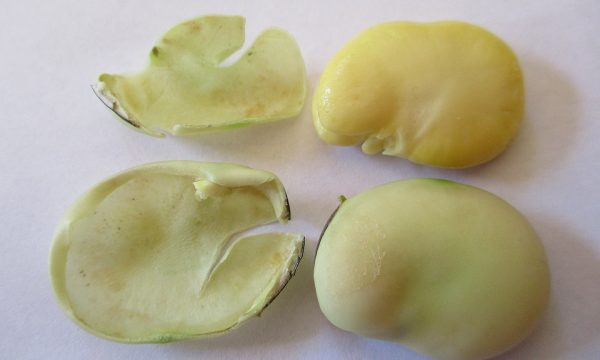 Vicia faba field bean seed showing outer seed coating