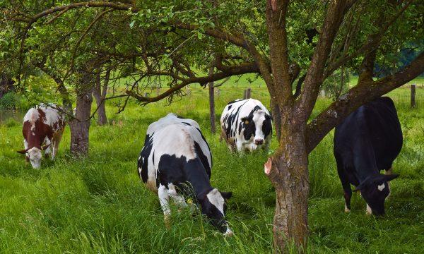 koeien in een grasland met bomen