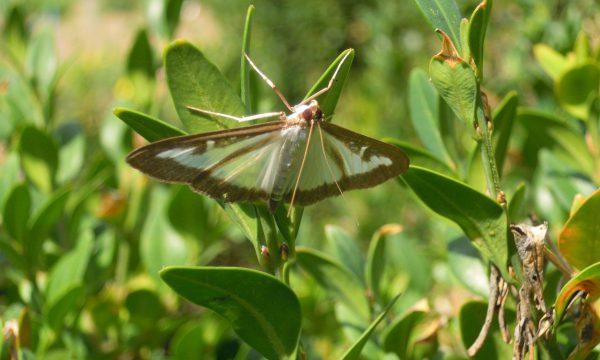 Buxusmot op buxusplant, witte vleugels met bruine randen