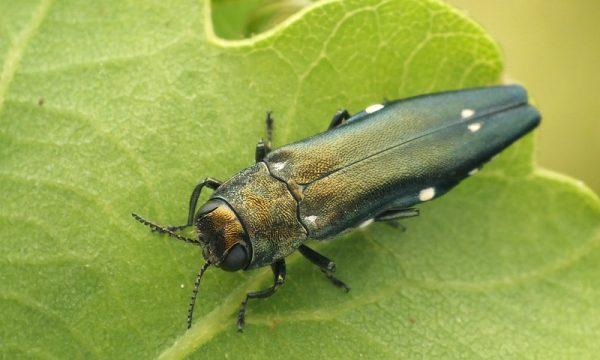 Agrilus jewel beetle (c) Tamás Németh