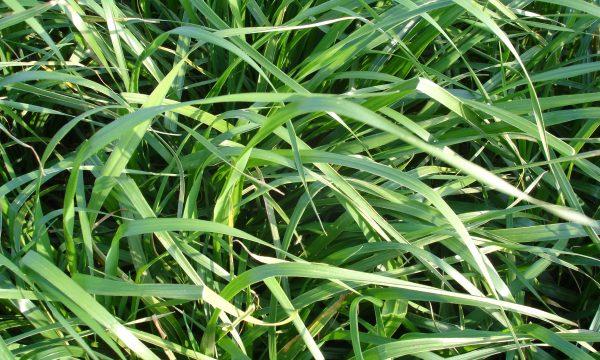 een close up beeld van gras