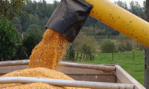 rijpe maïskorrels worden van het veld in een grote laadbak gestort