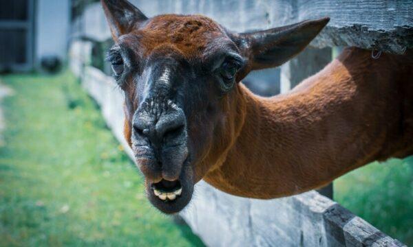 Een bruine geschoren lama steekt zijn hoofd door een houten omheining