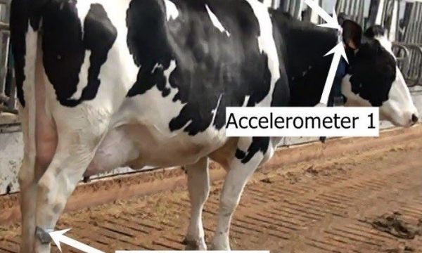 Cow with three sensors