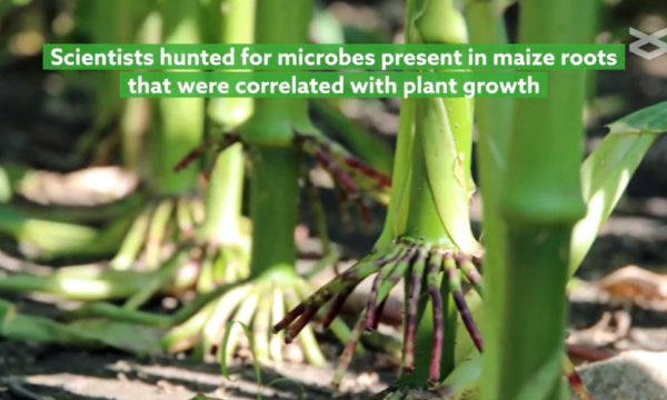 Scientists hunted for microbes present in maize roots that were correlated with plant growth