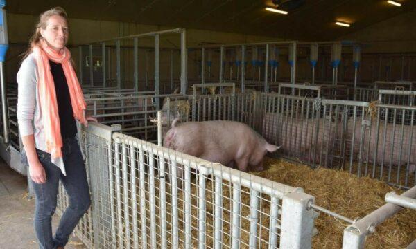 Marijke Aluwé in de onderzooeksstal van de varkenscampus. Enkele verblijfplaatsen van varkens met stro en stalen omrasteringen.