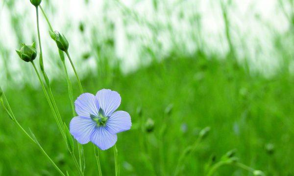 Blauwe bloemetje van het gewas vlas