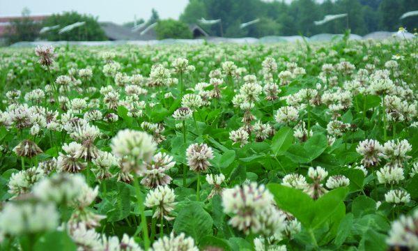 een veld vol witte klaver
