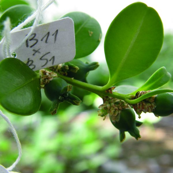 Label on boxwood twig noting the plant cross