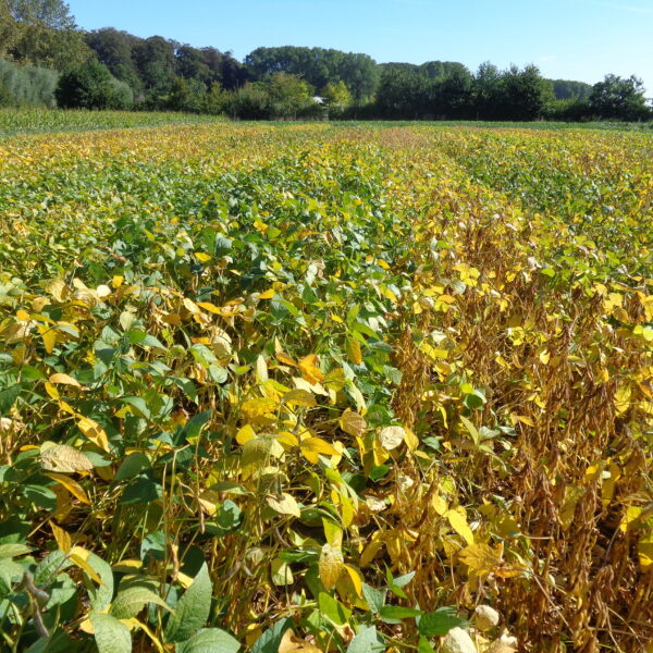 soy plants in rows on the field, some ripening faster than others
