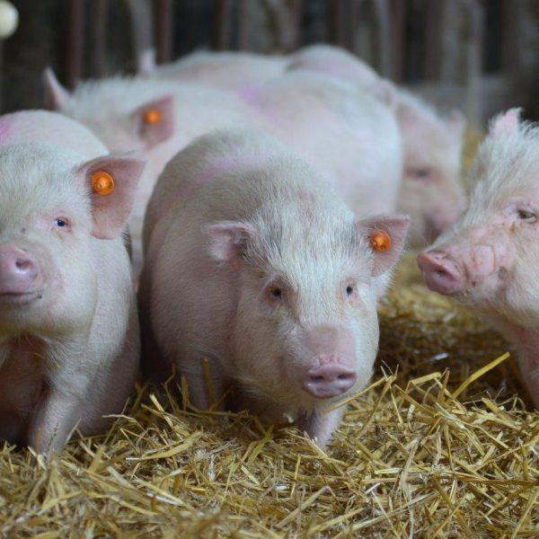 pigs on straw bedding