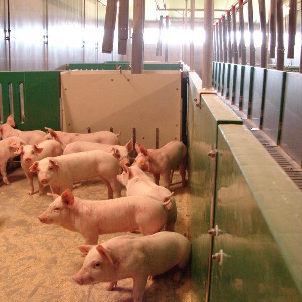 foto van varkens met gecoupeerde staarten