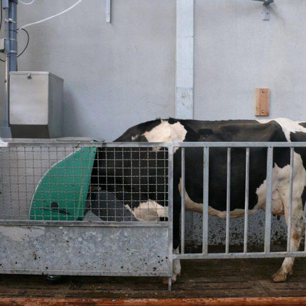 Koe in stal met zijn kop in de voederbak