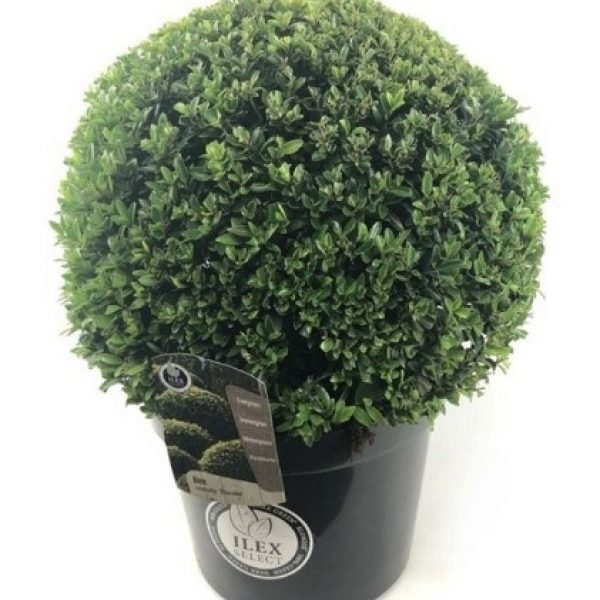 holly that looks like boxwood in a pot