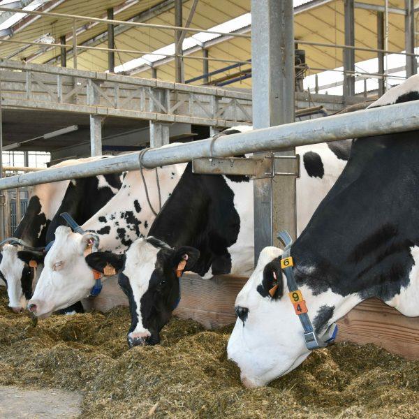 Vier Holsteinkoeien in de stal met voeder.