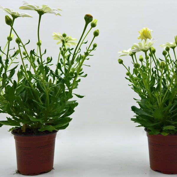 Twee potten met Osteospermum, groene bladeren en witte bloemen. De rechtse plant is duidelijk compacter.