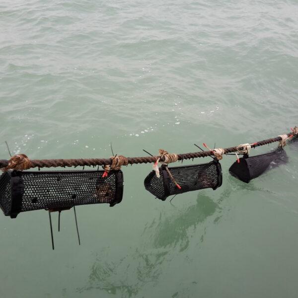 Kabel in de Noordzee waaraan zwarte, handtasvormige manden aan zijn vastgehecht. In de manden zitten jonge oesters, die hier opgroeien tot ze geoogst kunnen worden.