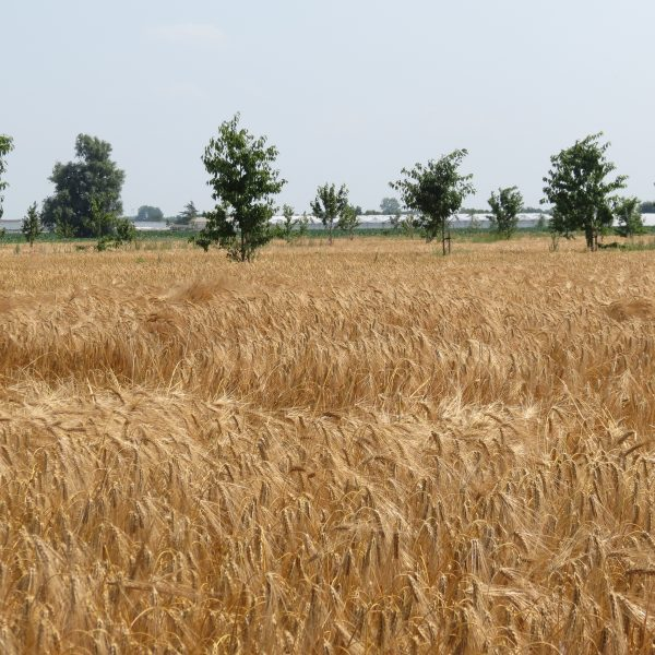 Wheat field with row of trees in background