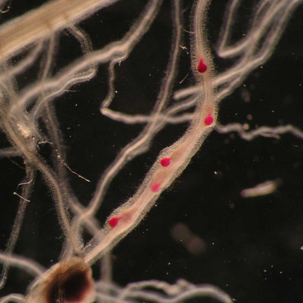 Microscoopfoto's van plantenwortels