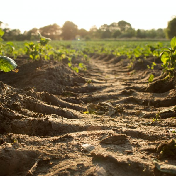 Gecompacteerd bandenspoor in aardappelveld. Compactie leidt tot meer afspoeling van water en minder infiltratie.