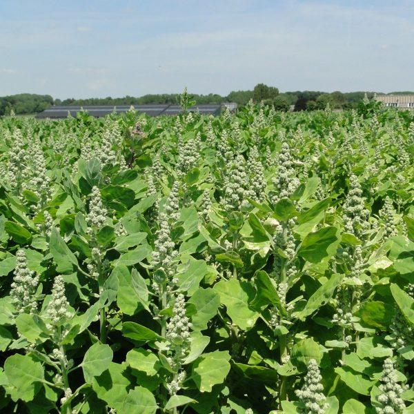 Unripe quinoa on the field