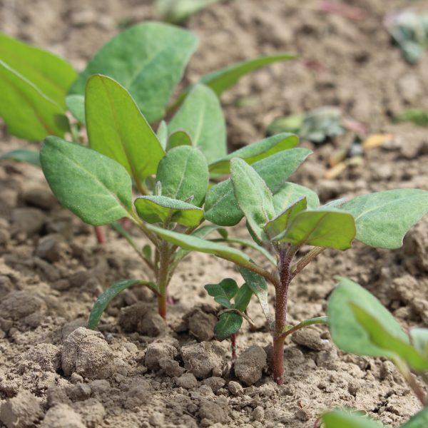 Sprouting quinoa