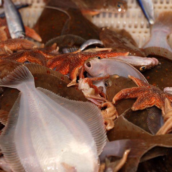Visvangst van gemengde visserij, onder meer platvissen en zeesterren