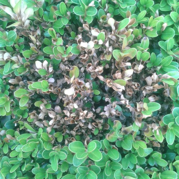 A clump of brown boxwood leaves among green ones