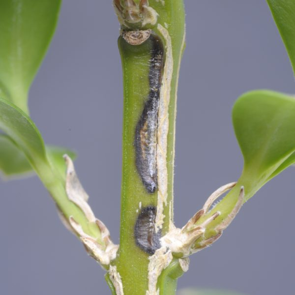 Boxwood twig with brown trail where caterpillar ate it