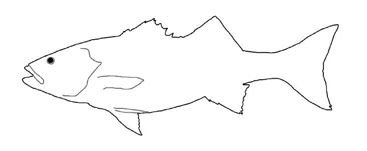 Line drawing of sea bass