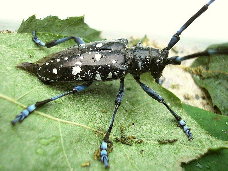 De Oost-Aziatische boktor, een kever met een zwart gekleurd lichaam met witte vlekken, en blauw gestreepte antennes en poten.