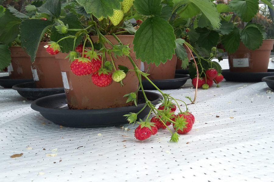 Horti Blue C strawberries ready for picking 2019