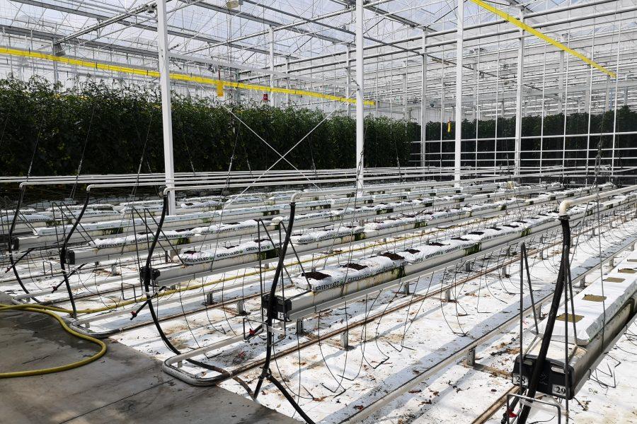 Hoogstraten tomaat begin juni 2019 2