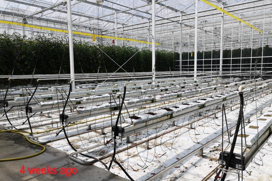 Hoogstraten tomaat begin juni 2019 2a